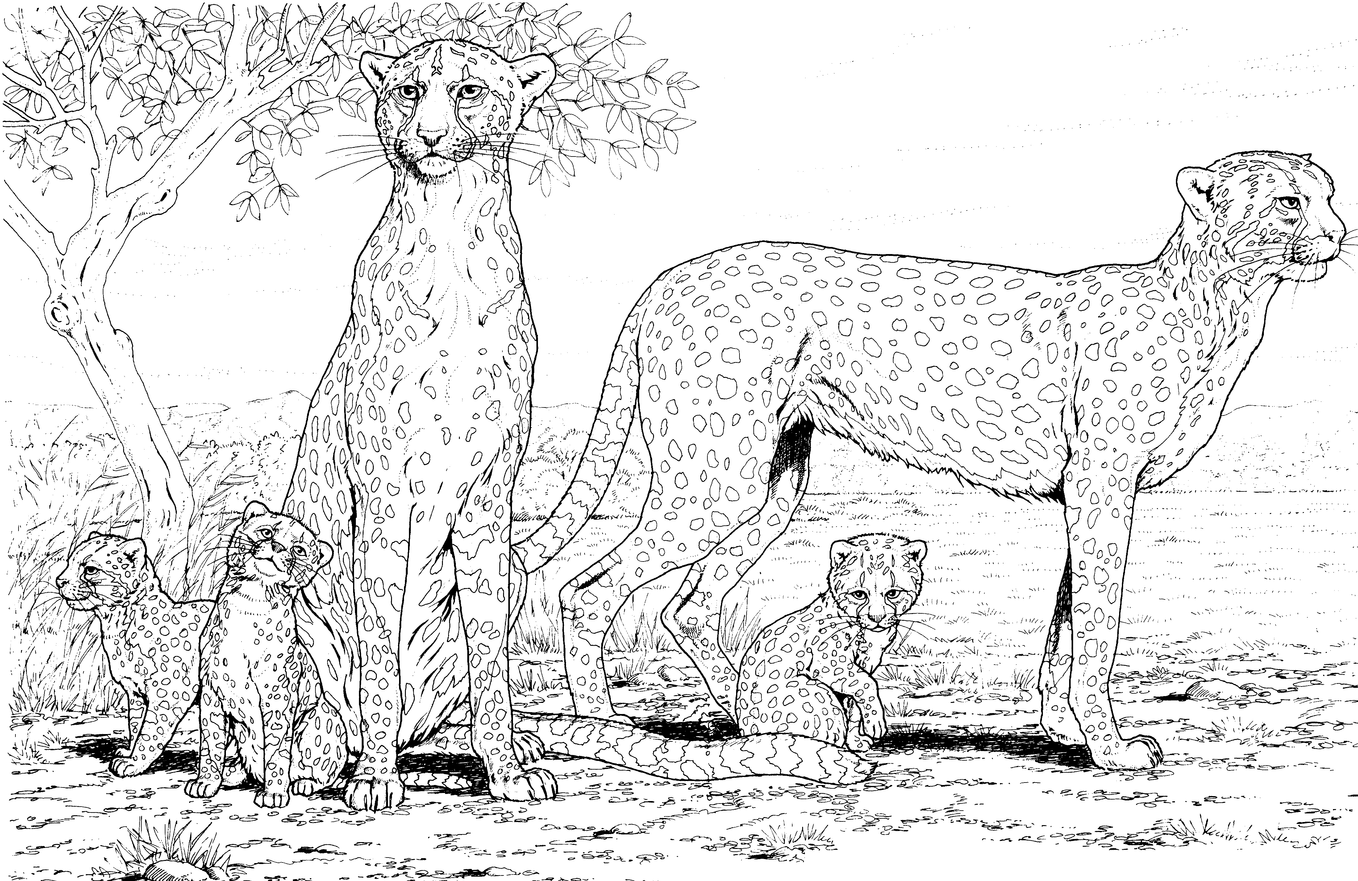 Cheetah Coloring Pages Family
