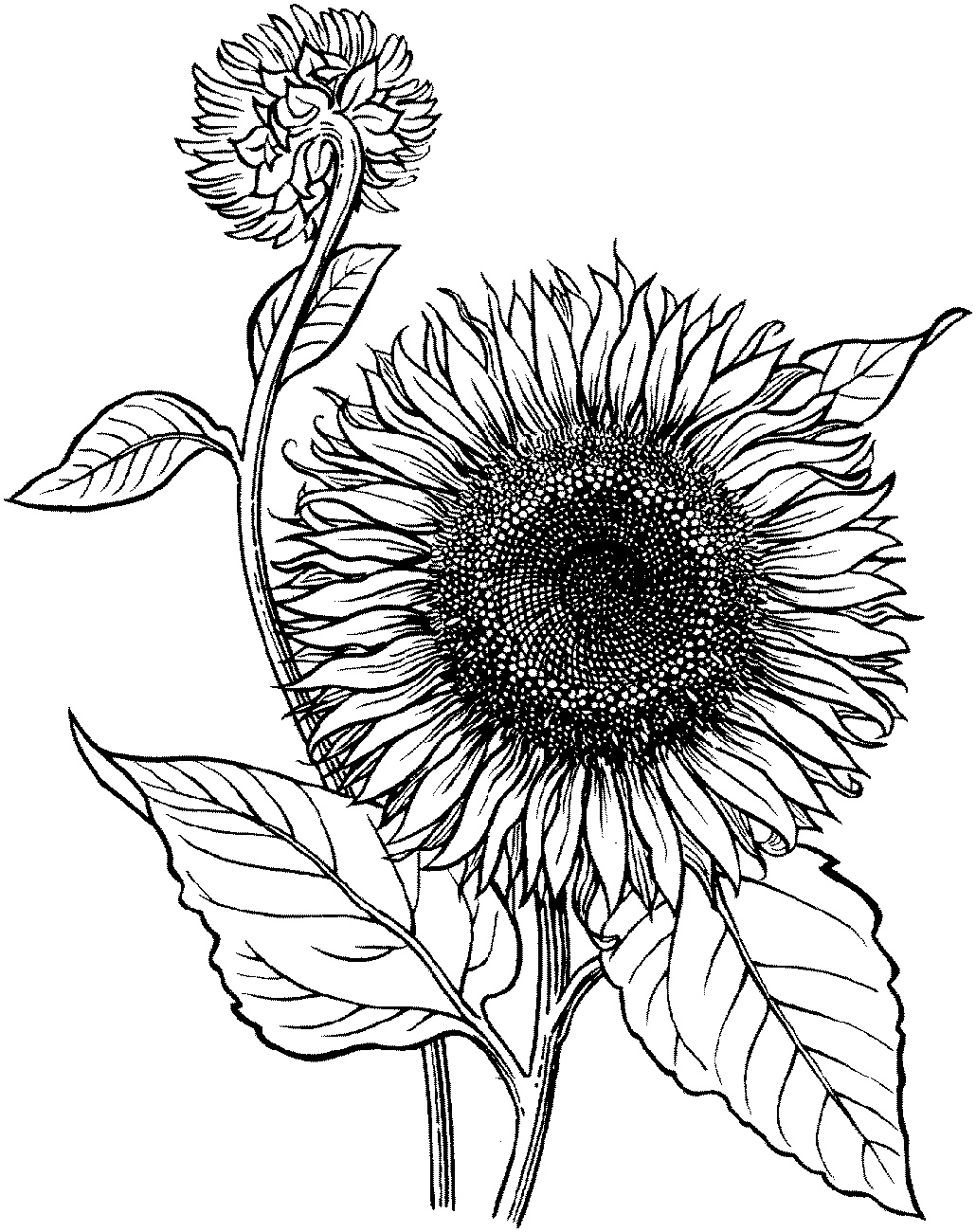 Sunflower Coloring Page For Adults