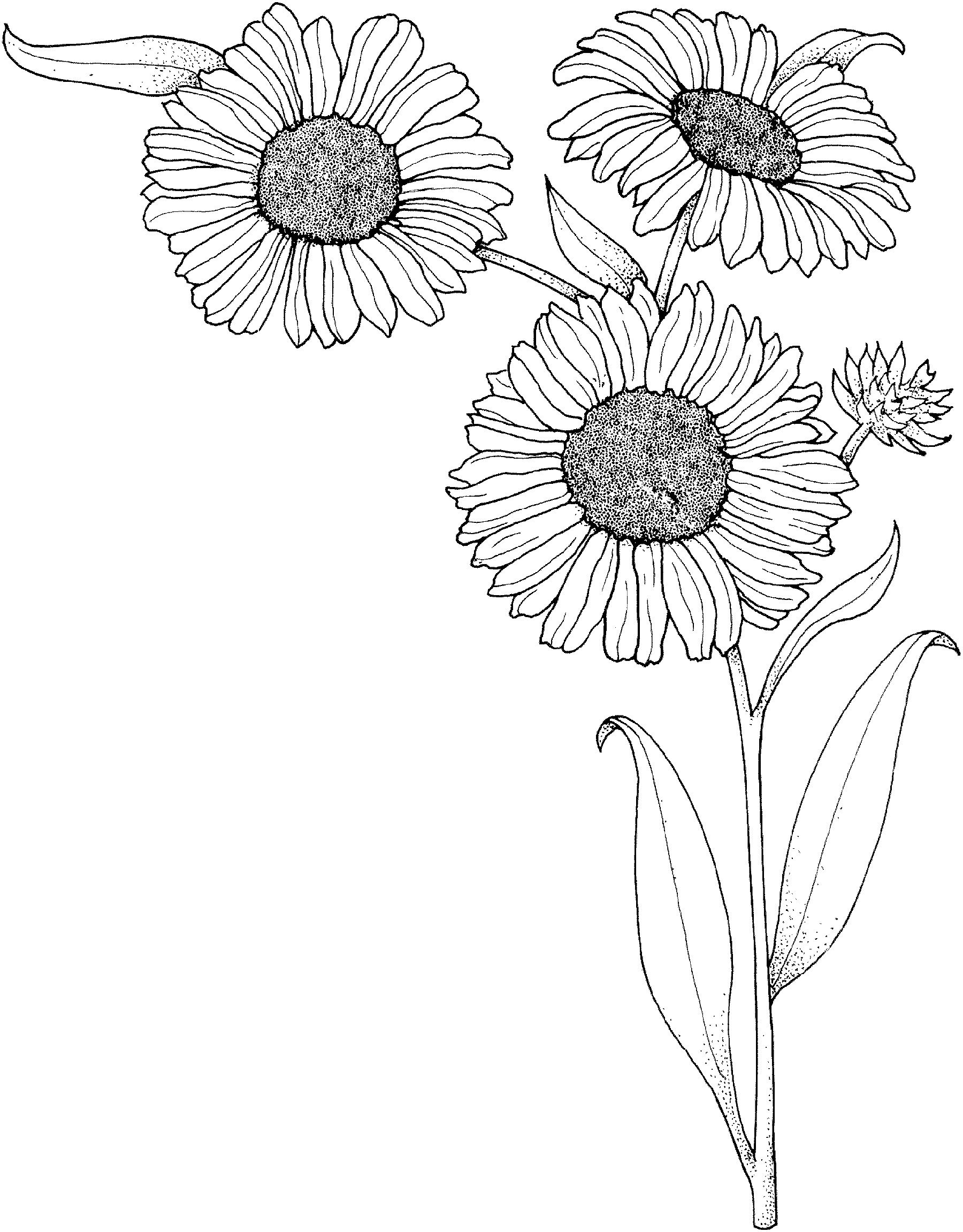 Sunflower Coloring Page Realistic