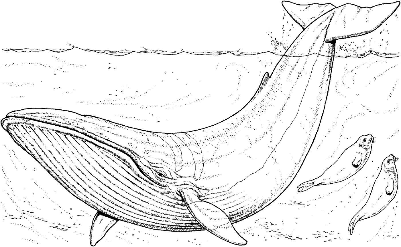 Whale Coloring Pages Realistic