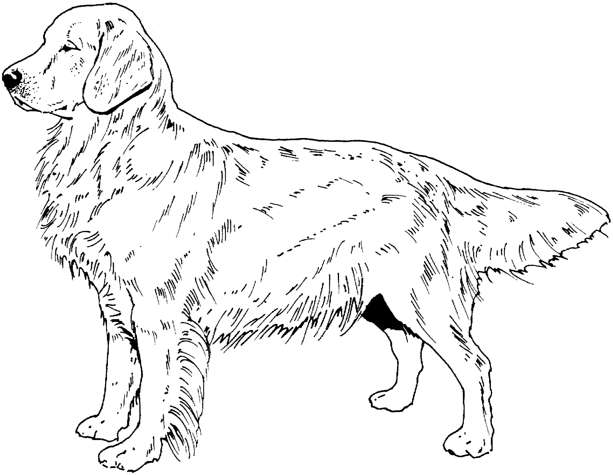 Golden Retriever Coloring Page Free
