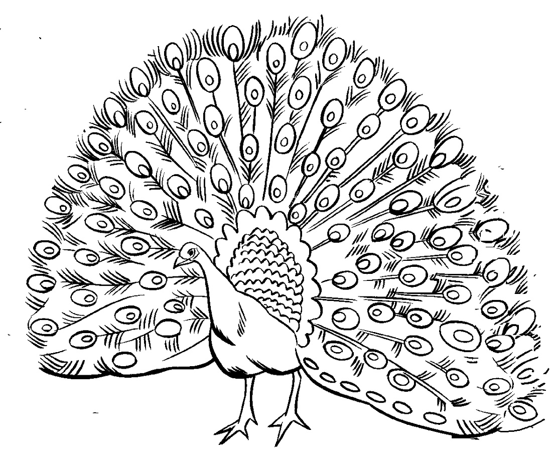 Peacock Coloring Pages Free