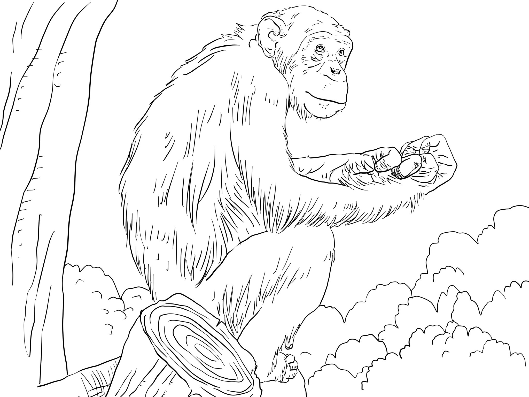 Free Coloring Pages Chimpanzee