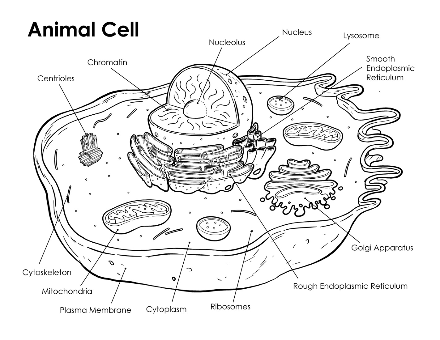 Animal Cell Coloring Key Labeled