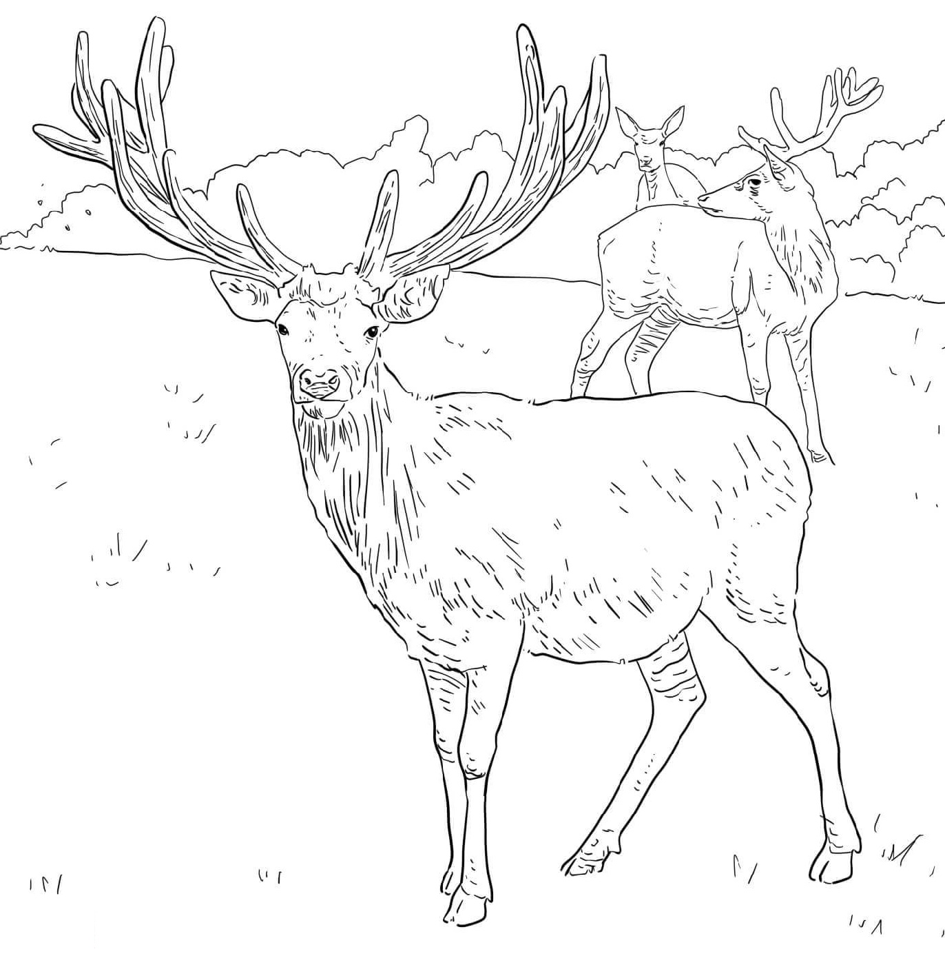 Mule Deer Coloring Pages