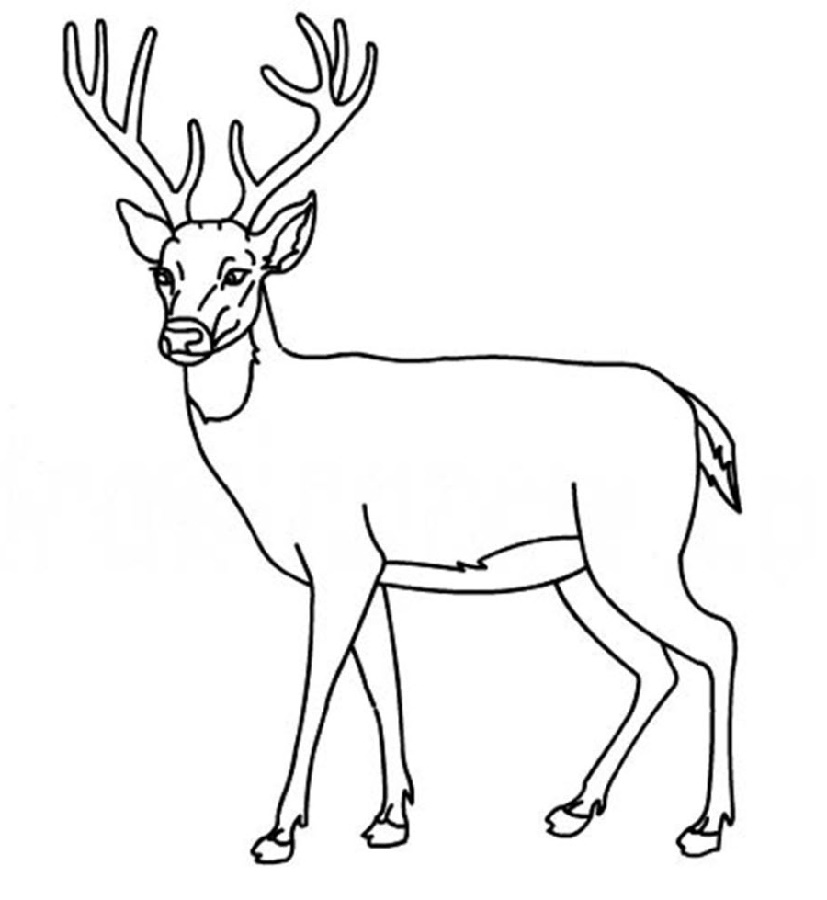 White Tail Deer Coloring Pages