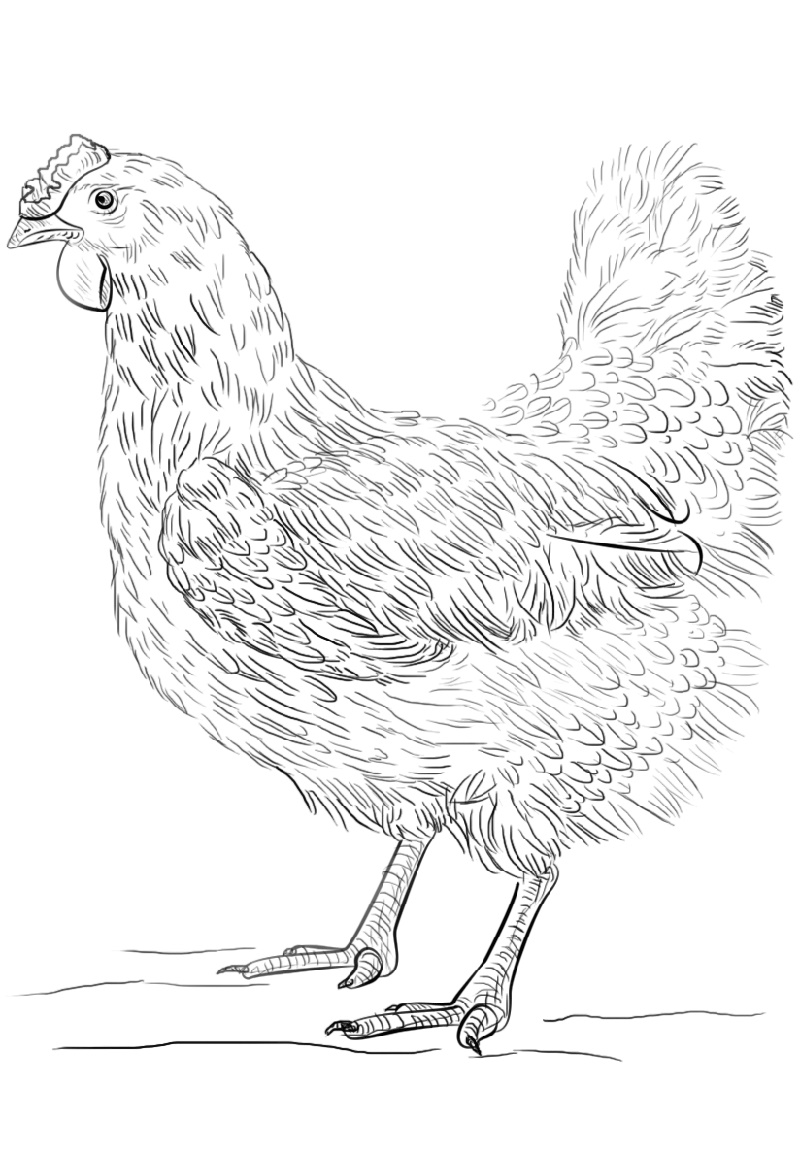 Chicken Coloring Pages Realistic
