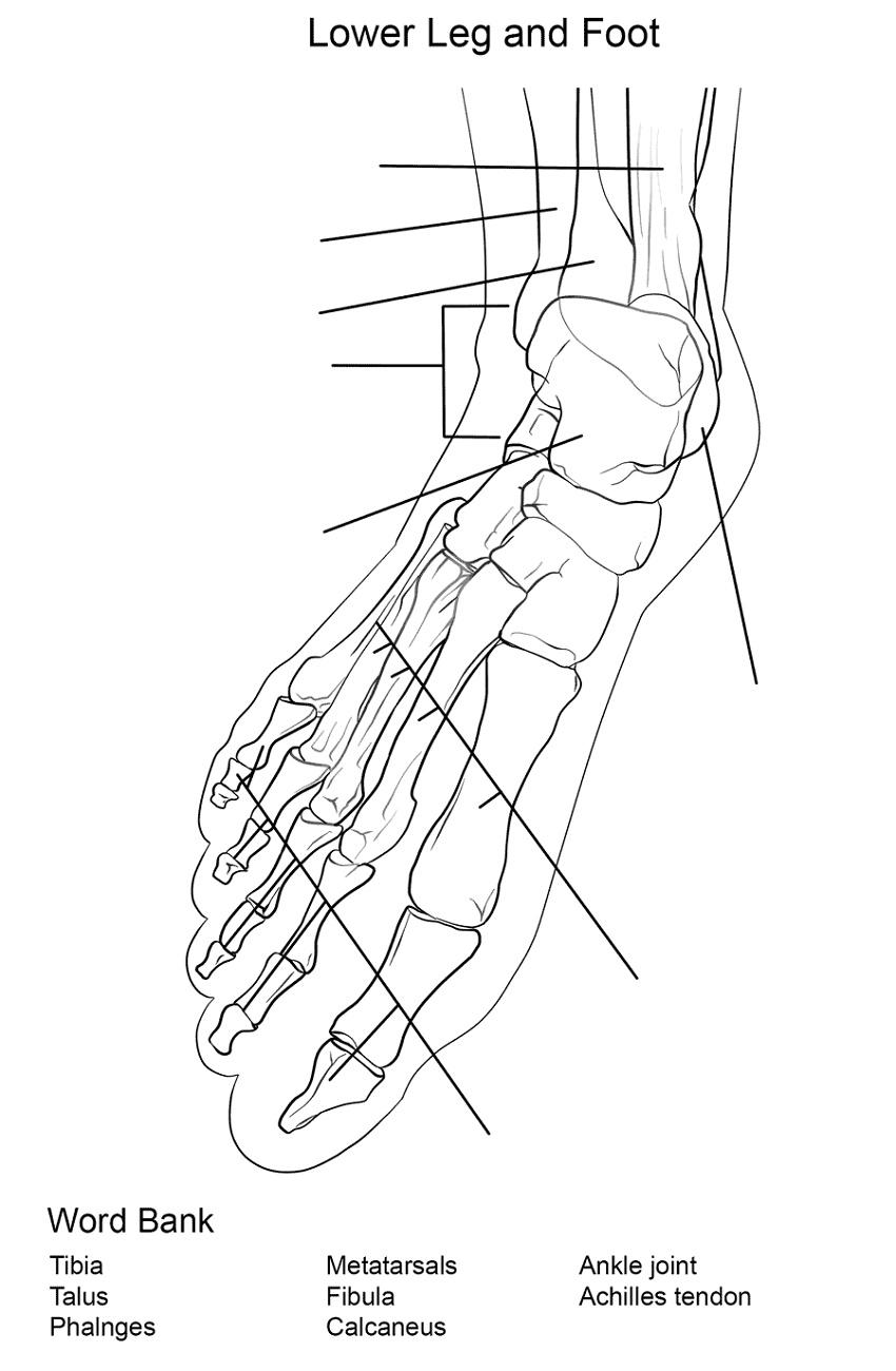 Anatomy Coloring Book Leg