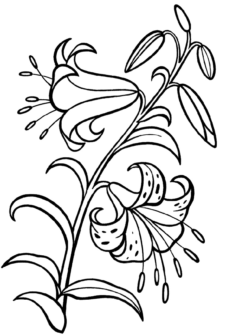 Flower Coloring Lily