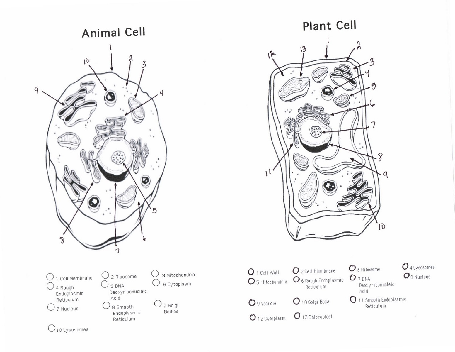 Animal Cell Coloring Answers And Plant Cell K5 Worksheets