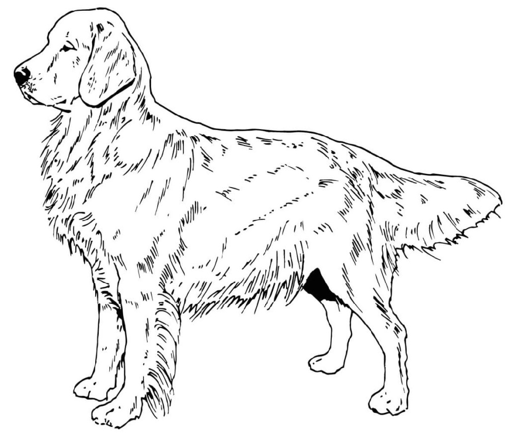 Labrador Retriever Dog Coloring
