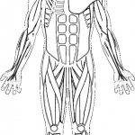 Human Muscles Coloring Key Free