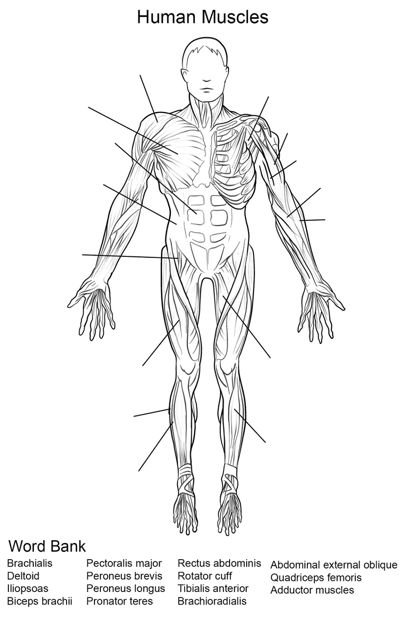 Human Muscles Coloring Key Worksheet